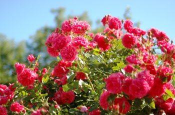 czas by róże parkowe zawitały do ogrodu